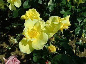 rosa lawrence johnston
